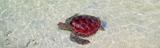 Beach Bride Sea Turtle Rescue